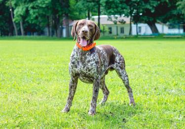 Photo : chien de race Braque allemand à poil court sur Woopets
