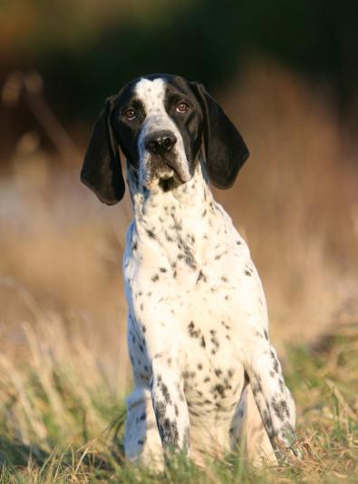 Photo : chien de race Braque d'Auvergne sur Woopets
