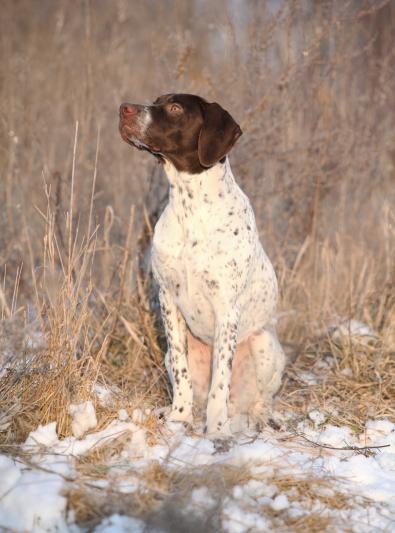 Photo : chien de race Braque Français sur Woopets