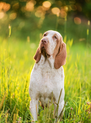 Photo : chien de race Braque Italien sur Woopets