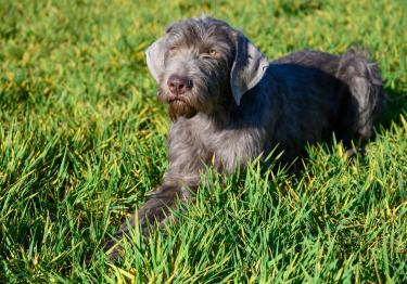 Photo : chien de race Braque Slovaque à poil dur sur Woopets