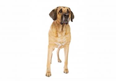 Photo : chien de race Broholmer sur Woopets
