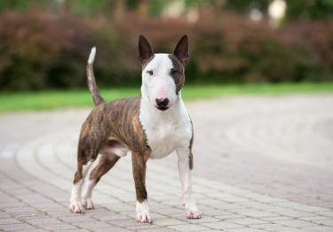 Photo : chien de race Bull Terrier sur Woopets