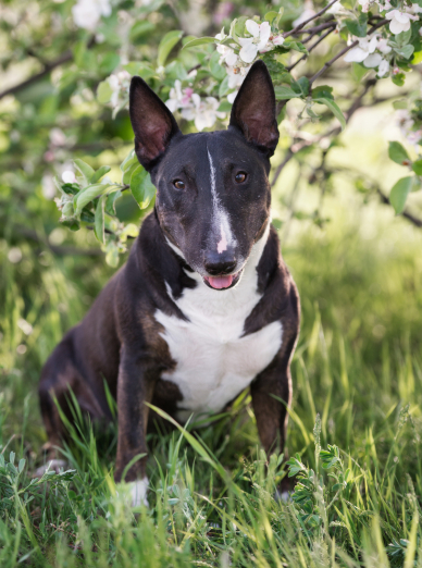 Photo : chien de race Bull Terrier sur Woopets