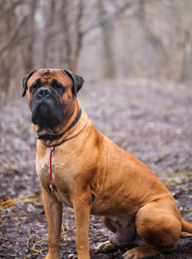 Photo : chien de race Bullmastiff sur Woopets