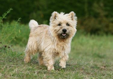 Photo : chien de race Cairn Terrier sur Woopets