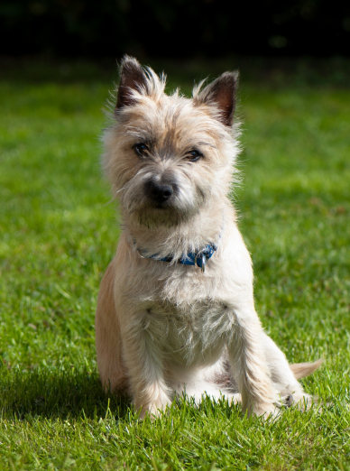 Photo : chien de race Cairn Terrier sur Woopets