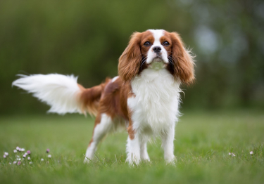 Photo : chien de race Cavalier King Charles Spaniel sur Woopets