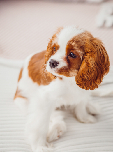 Photo : chien de race Cavalier King Charles Spaniel sur Woopets