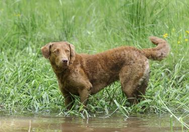 Photo : chien de race Chesapeake Bay Retriever sur Woopets