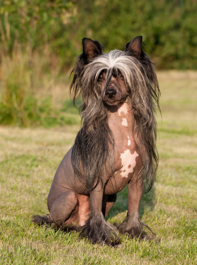 Photo : chien de race Chien chinois à crête sur Woopets