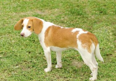 Photo : chien de race Chien courant d'Istrie à poil ras sur Woopets