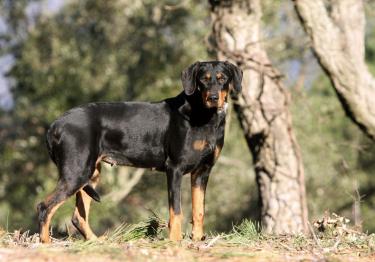 Photo : chien de race Chien courant de Transylvanie sur Woopets