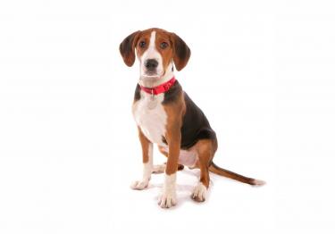 Photo : chien de race Chien courant de Hamilton sur Woopets
