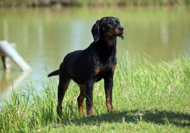 Photo : chien de race Chien courant slovaque sur Woopets