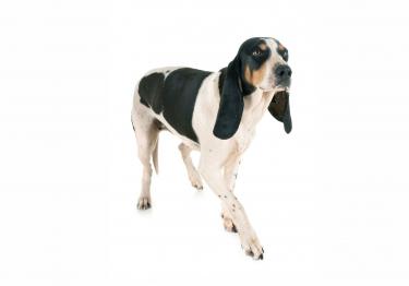 Photo : chien de race Chien courant suisse sur Woopets