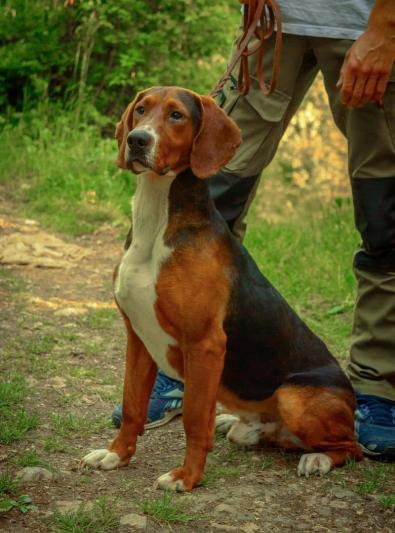 Photo : chien de race Chien courant yougoslave tricolore sur Woopets