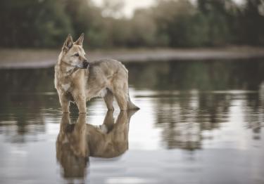 Photo : chien de race Chien de Canaan sur Woopets