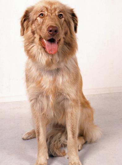 Photo : chien de race Berger de l'Atlas sur Woopets