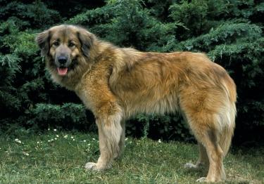 Photo : chien de race Chien de montagne portugais sur Woopets