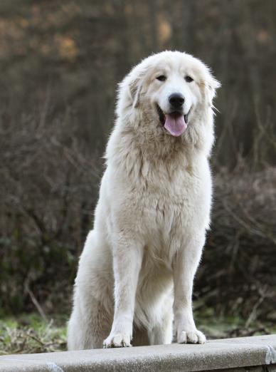 Photo : chien de race Chien de montagne des Pyrénées sur Woopets