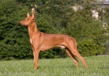 Photo : chien de race Chien du pharaon sur Woopets