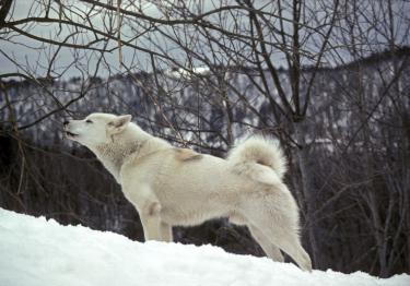 Photo : chien de race Chien du Groenland sur Woopets