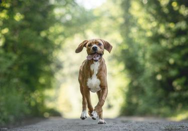 Photo : chien de race Chien d'arrêt portugais sur Woopets