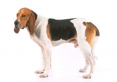 Photo : chien de race Chien d'Artois sur Woopets