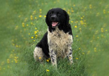 Photo : chien de race Chien d'eau frison sur Woopets
