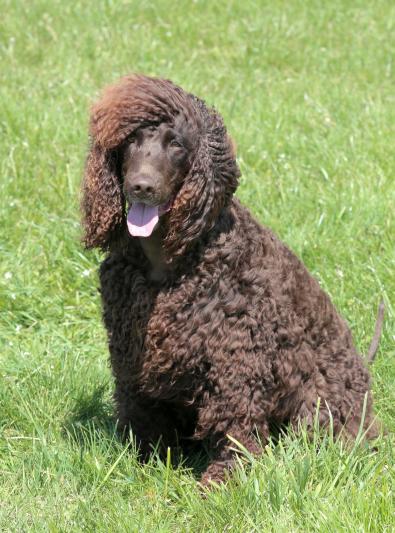 Photo : chien de race Chien d'eau irlandais sur Woopets