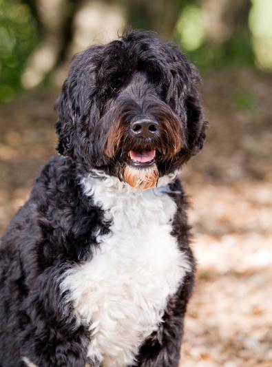 Photo : chien de race Chien d'Eau Portugais sur Woopets