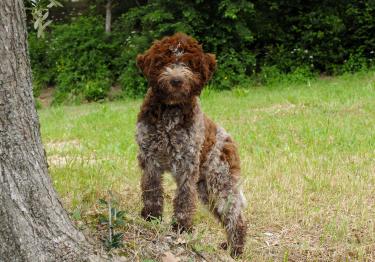 Photo : chien de race Chien d'eau romagnol sur Woopets
