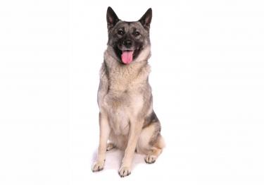 Photo : chien de race Chien d'élan norvégien gris sur Woopets