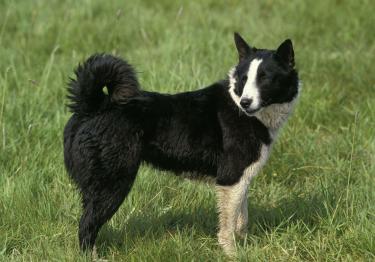 Photo : chien de race Chien d'ours de Carélie sur Woopets