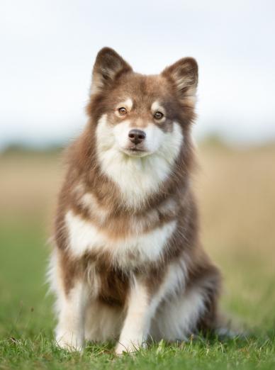Photo : chien de race Chien Finnois de Laponie sur Woopets