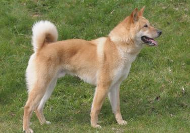 Photo : chien de race Chien Jindo Coréen sur Woopets