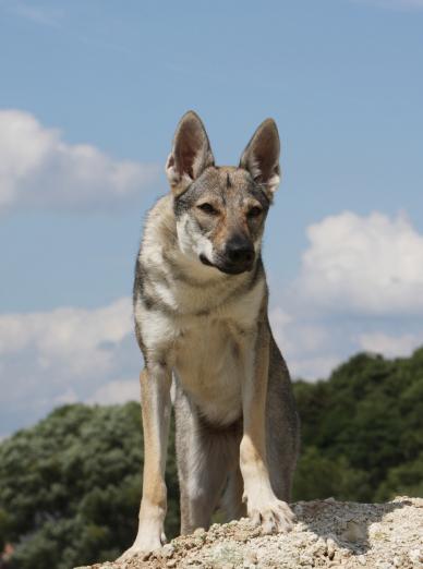 Photo : chien de race Chien Loup Tchécoslovaque sur Woopets