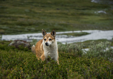 Photo : chien de race Chien norvégien de Macareux sur Woopets