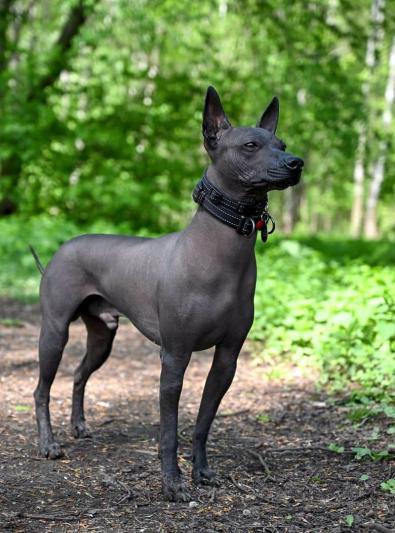 Photo : chien de race Chien nu mexicain sur Woopets