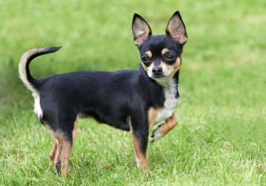 Photo : chien de race Chihuahua sur Woopets