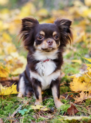Photo : chien de race Chihuahua sur Woopets