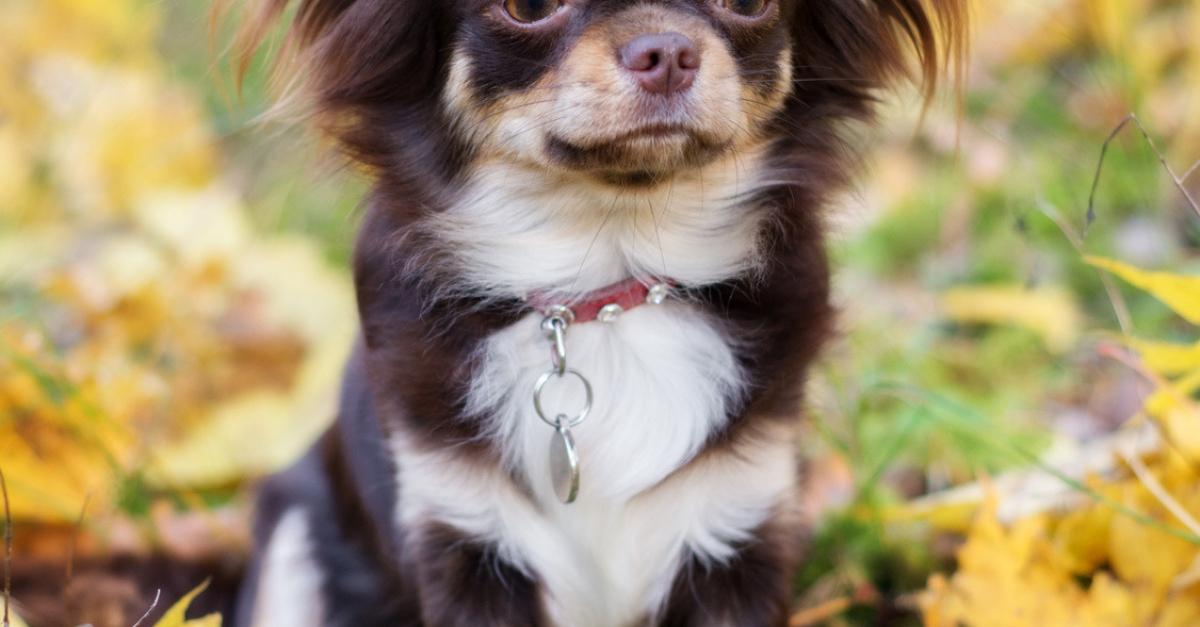 Chihuahua Caractere Sante Alimentation Prix Et Entretien