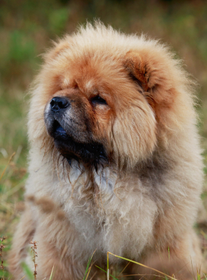 Photo : chien de race Chow Chow sur Woopets