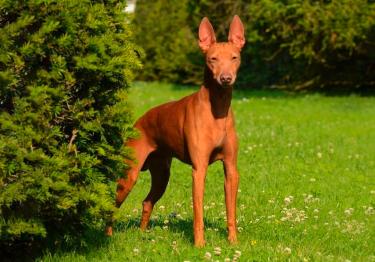 Photo : chien de race Cirneco de l'Etna sur Woopets