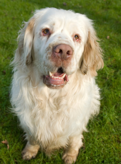 Photo : chien de race Clumber-Spaniel sur Woopets