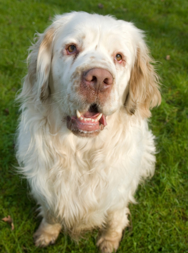 "Illustration de la race ""Clumber-Spaniel"""
