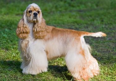Photo : chien de race Cocker Américain sur Woopets