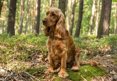Photo : chien de race Cocker Anglais sur Woopets