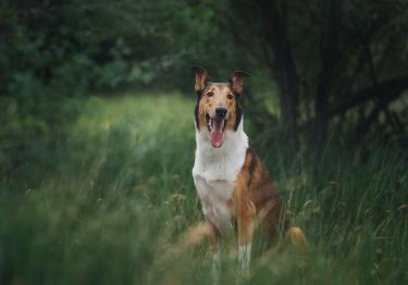 Photo : chien de race Colley à poil court sur Woopets